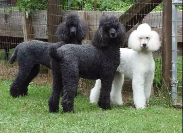 Akc black standard poodle